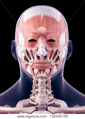 3d rendered, medically accurate illustration of the human head muscle