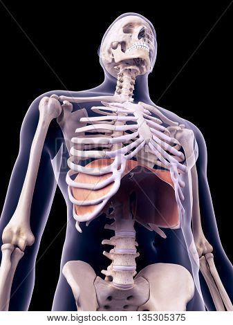 3d rendered, medically accurate illustration of the diaphragm