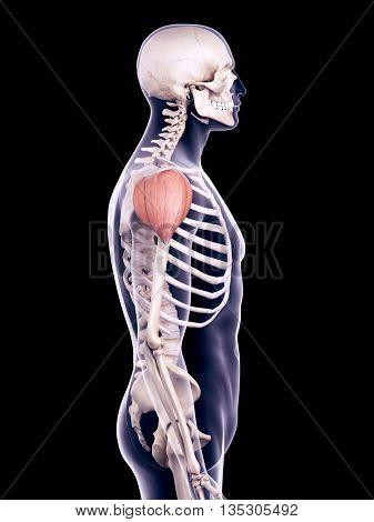 3d rendered, medically accurate illustration of the deltoid