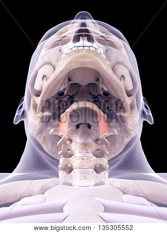 3d rendered, medically accurate illustration of the thyrohyoid
