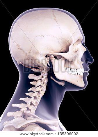 3d rendered, medically accurate illustration of the obliquus superior capiti