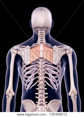 3d rendered, medically accurate illustration of the rhomboid major