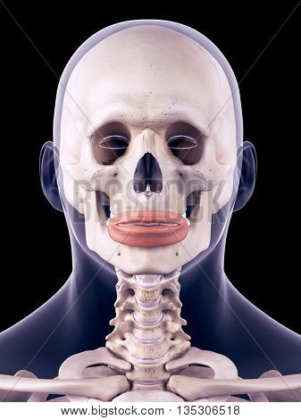 3d rendered, medically accurate illustration of the orbicularis oris