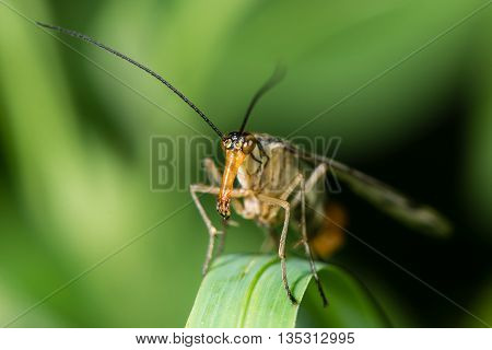 Head of scorpionfly (Panorpa species) with mouthparts. Elongate mandibles and fleshy palps forming jaws of insect in the family Order Mecoptera family Panorpidae