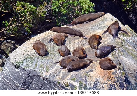 Sea Lions sleeping and basking in the sun on a rock in Milford Sound, New Zealand