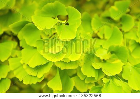 Green and yellow fall leaves of Gingko Biloba - healing plant, nature sunny background