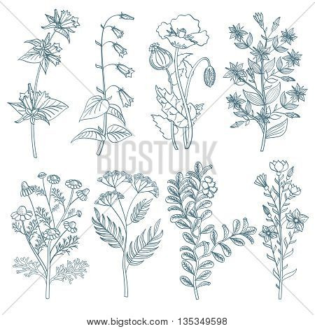 Herbs wild flowers botanical medicinal organic healing plants vector set in hand drawn style. Herb medicine plant and illustration of botanical plant for healing