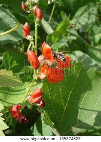 Scarlet runner bean flowers with bee .
