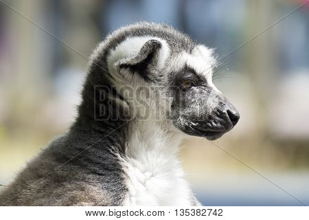 Ring-tailed lemur monkey in The Apenheul in Apeldoorn Netherlands.