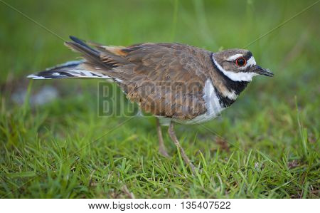Killdeer staying between the photographer and its nest in the background