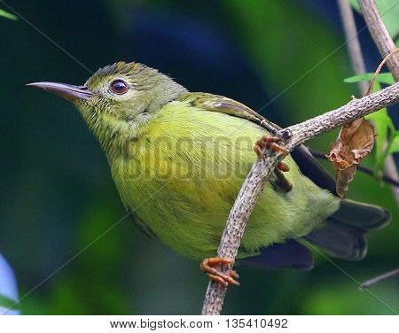 perching female Brown-throated Sunbird near Songkhla, Thailand
