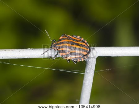 Striped-bug or minstrel bug Graphosoma lineatum on tube fence macro selective focus shallow DOF
