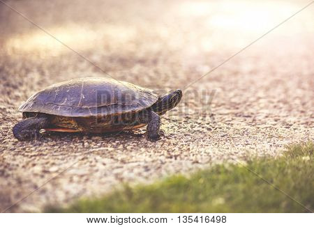 a turtle on a pebble stone path in a park during sunset walking alone toward a pond toned with a vintage retro instagram filter effect app or action
