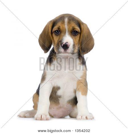 Welpen-beagle