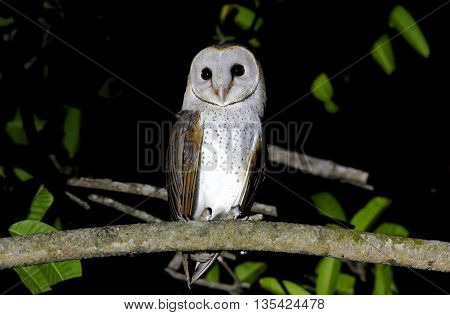 Barn Owl Tyto alba Birds of Thailand night scene