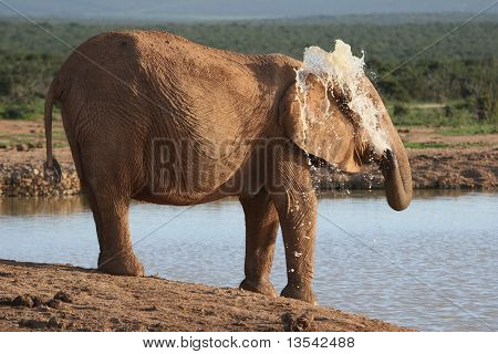 African elephant spraying water to cool down on a hot day poster