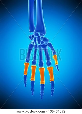 3d rendered, medically accurate illustration of the proximal phalanges bones