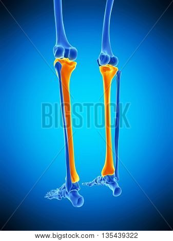 3d rendered, medically accurate illustration of the tibia