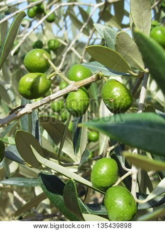Infested mediterranean olive tree by olive fruit fly Bactrocera oleae the major insect pest of olives . Tuscany Italy