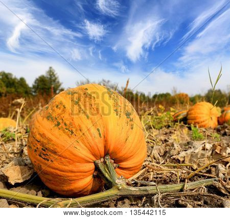 ripe pumpkin on agricultural field in autumn time