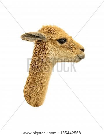 Vicuna Face Isolated Over White