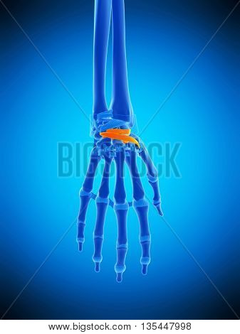 3d rendered, medically accurate illustration of the dorsal intercarpal ligaments