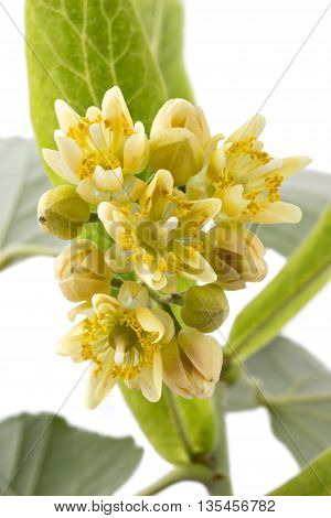 Blooming linden flowers closeup, Tilia Platyphyllos, isolated on white background
