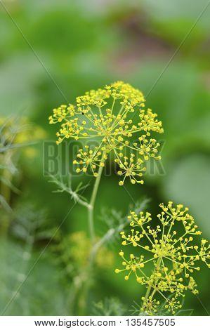 Fresh Dill Plant