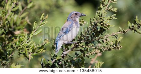 Western Scrub-Jay - Aphelocoma californica, perched on a tree