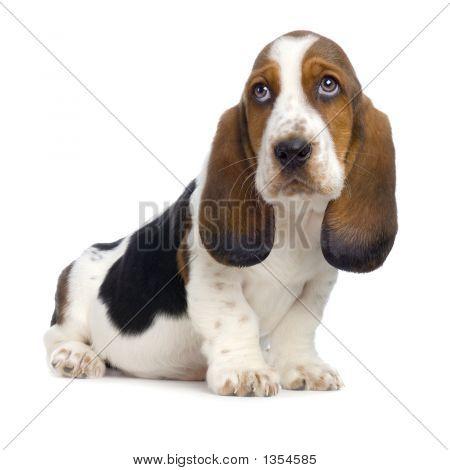 Basset Hound  Puppy -  Hush Puppies