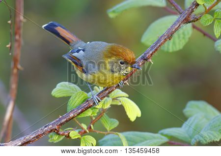 Bar-throated Minla Bar-throated Siva Chestnut-tailed Siva Minla strigula