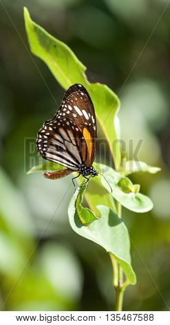 Monarch butterfly Danaus plexippus with natural green background, Perhentian Islands, Malaysia