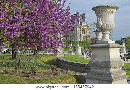 PARIS FRANCE - MAY 8 2016: Blossoming Cercis Siliquastrum (Judas tree). Tuileries Garden. Paris. France.