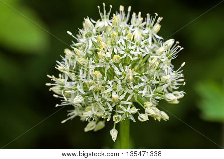 Soft focus of Persian shallot flowers in white named Mount Everest blossoming in summer, Europe (Allium stipitatum), blurred garden background