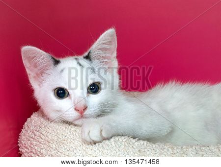 white and black kitten laying on textured off white bed one paw over front looking forward. Vibrant pink textured background with copy space