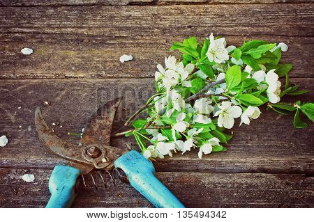 branch blossoming plum and rusty garden pruner lying on old wooden table