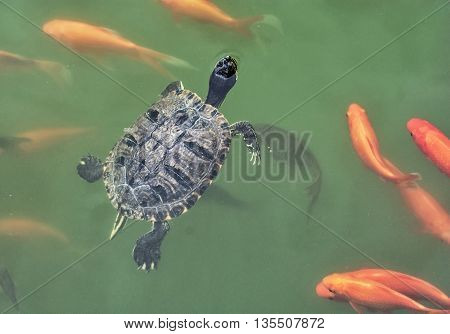 Red-eared slider - Trachemys scripta elegans and red fish in the water. Animal theme. Life in water. Beauty in nature. Aquatic animals. Natural scene. poster