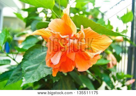 Beautiful of Orange Hibiscus flower on tree