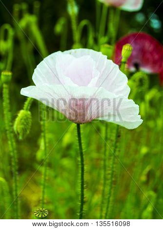 poppy. Field of bright corn poppy flowers. white poppy. Papaver rhoeas common names include corn poppy. red poppy on a green background