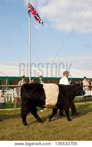 NEWBURY, UK - SEPTEMBER 21: Handlers parade the champion Belted Galloway cows around the main show arena during the grand parade at the Berks County show on September 21, 2014 in Newbury