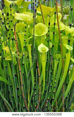 Green lobster pot pitcher plants and scouring rush