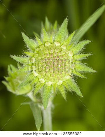 Flower bud of Field Scabious Knautia Arvensis with dark bokeh background macro selective focus