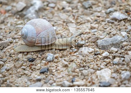 Burgundy snail, also known as Roman snail, white edible snail with shell crawling on the ground  (Helix pomatia)