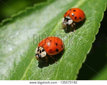 Two Ladybugs on a leaf in the garden