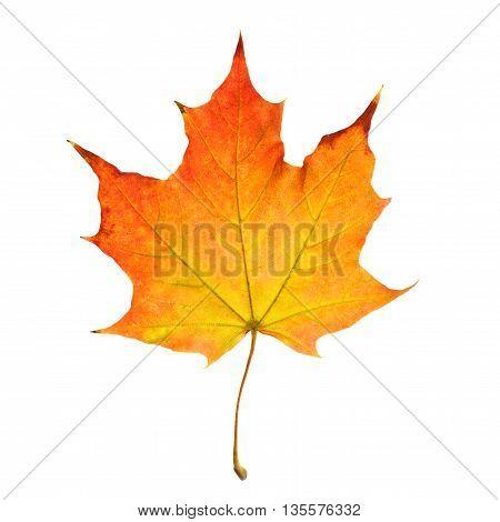 one Autumn Leaf Isolated on White Background