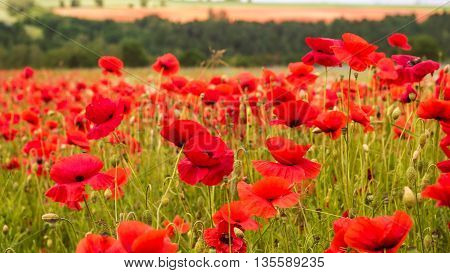 Huge field of blossoming poppies. Poppy field.Field of blossoming poppies. Blossoming poppies.close up of moving poppies.Field in Farmland, Countryside, Rural, Rustic Summer Landscape, Background