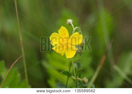 Flower of a bulbous buttercup (Ranunculus bulbosus)