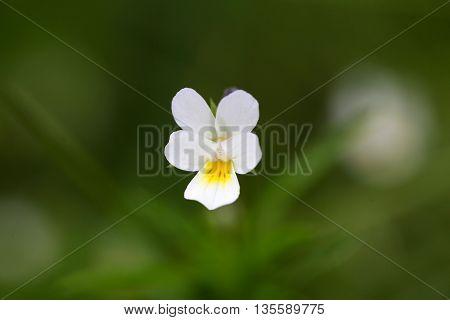 Flower of a wild field pansy (Viola arvensis)