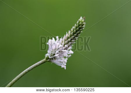 Flower of a hoary plantain (Plantago media) poster