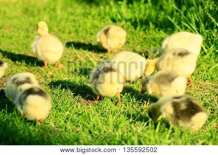 brood of young goslings on the grass in the village